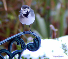 Pied Wagtail in winter | by Roger's Photos59