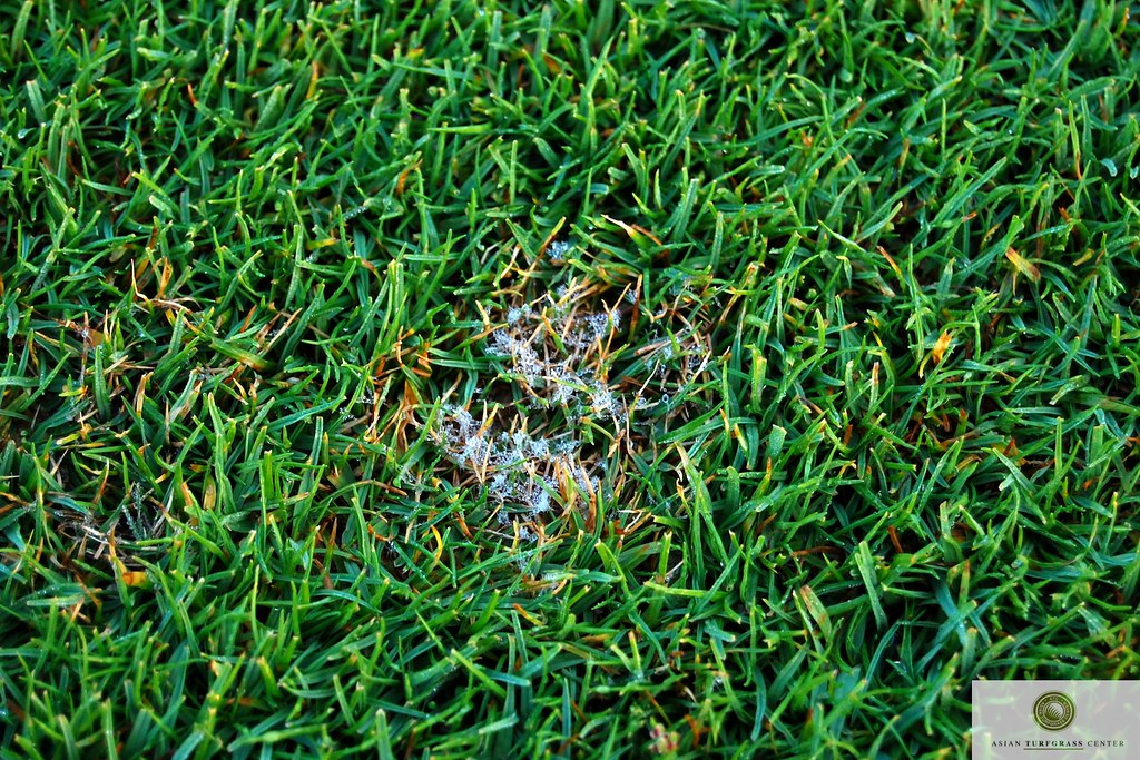 Dollarspot Seashore Paspalum Thailand Typical Symptoms