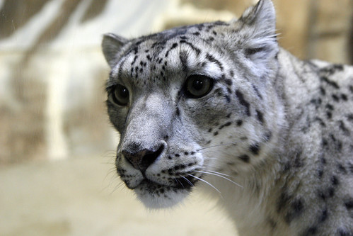 Snow Leopard | by Potter Park Zoo