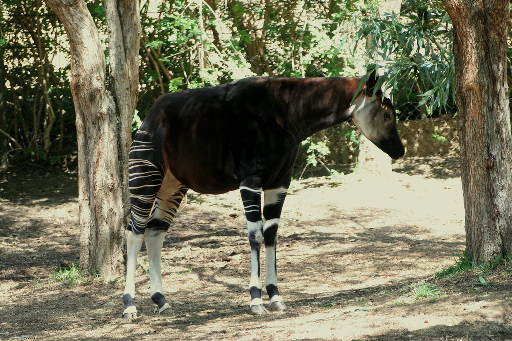 Okapi okapia johnstoni okapis have reddish dark backs for Okapi coloring page