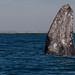 Grey whale (Escrichtius robustus) 12 Feb-10-7569