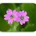 Geranium molle (geráneo silvestre)
