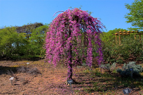 the lavender twist weeping redbudcercis canadensis quotcove
