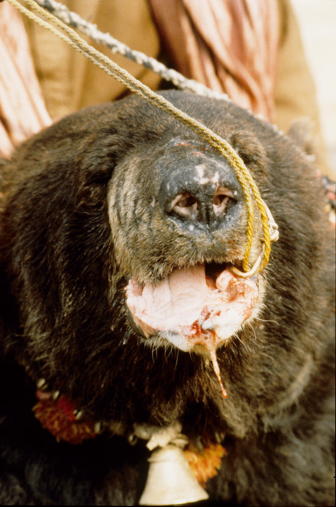 a bear is injured as a result of a bear baiting incident i