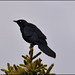 Rusty Blackbird ... Euphagus carolinus