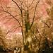 Springtime Tree In Tokyo Park In Infrared