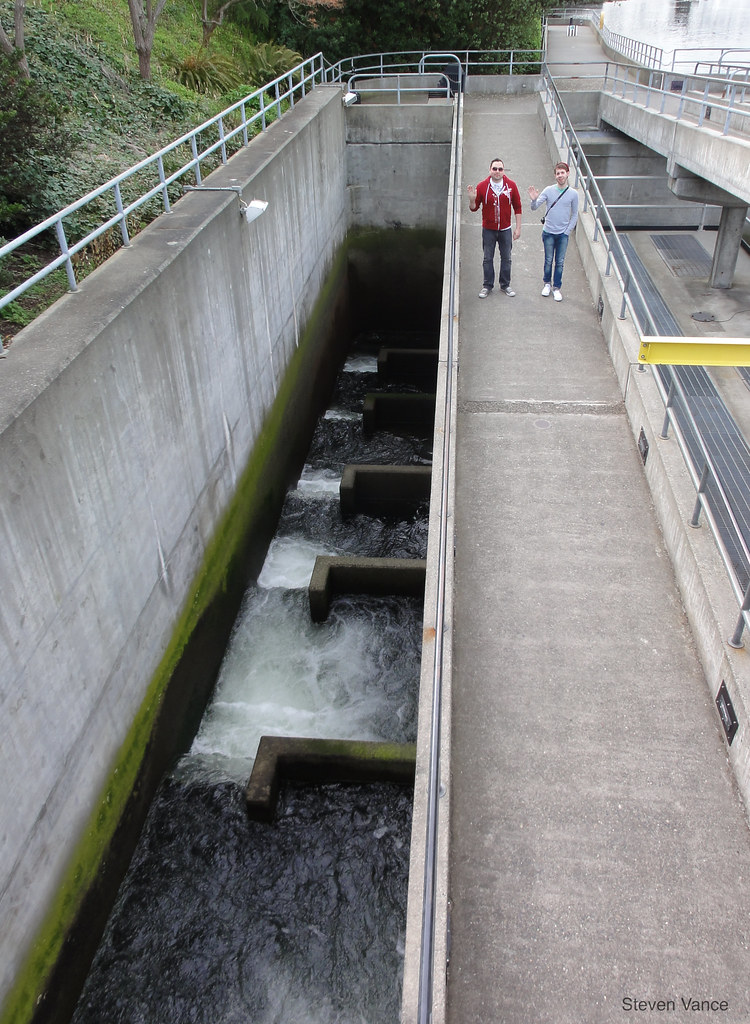 Fish can climb this ladder at the hiram chittenden locks for Ballard locks fish ladder