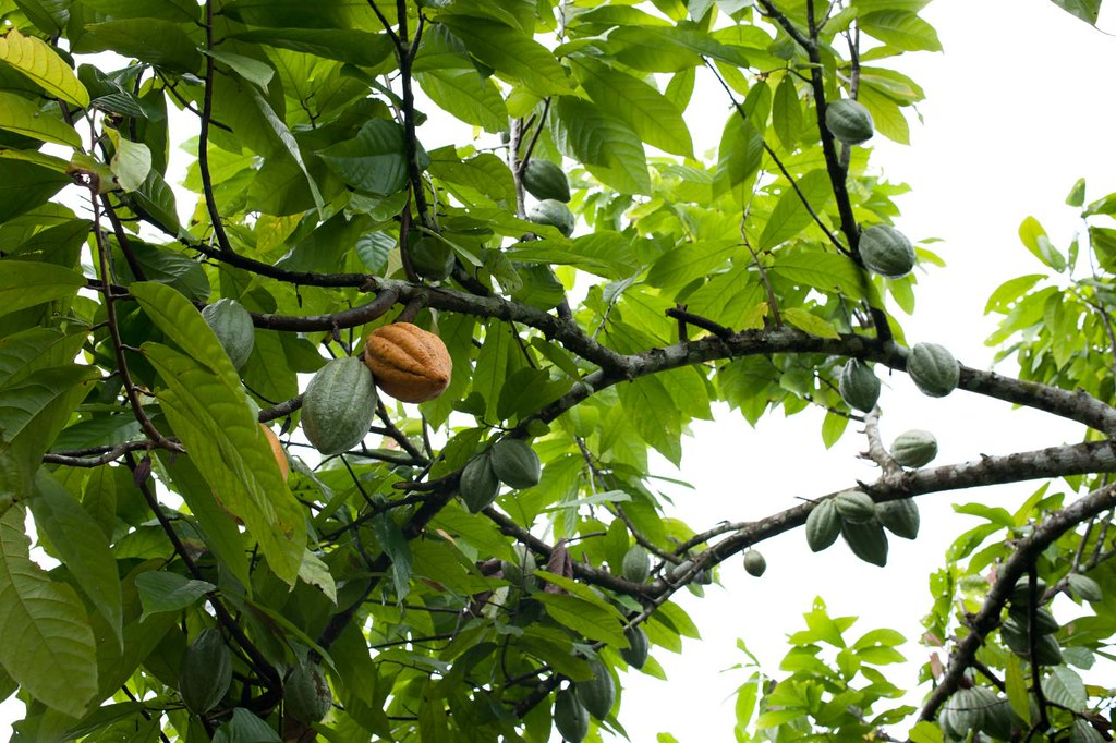 cacao fruits | the beg...