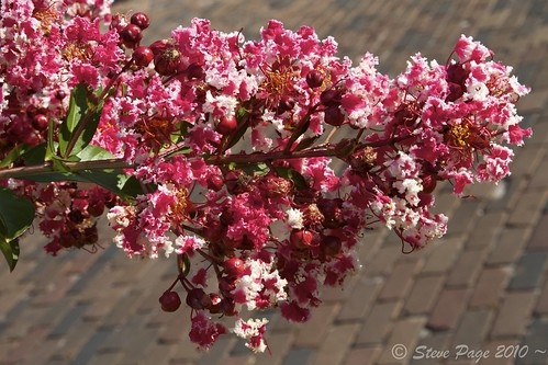 ~ Crepe Myrtle Blossom ~ | by iTail ~ 4.5 Million Views ~ Thanks to all.