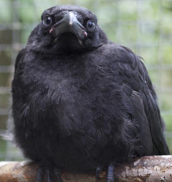 Crow Baby Food