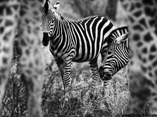 Zebra framed by Giraffe | Managed to get all the animals sta… | Flickr