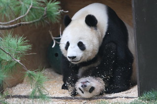 Yun Zi playing with his mom Bai Yun | by kjdrill