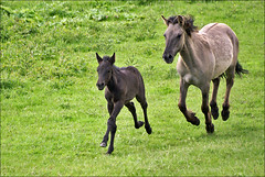 Konik Horses (Mare and Foal) | by Foto Martien