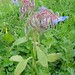 Borragem // Borage (Borago officinalis)