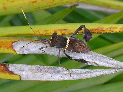 Leaf-footed bug (Leptoglossus zonatus) | by bayucca