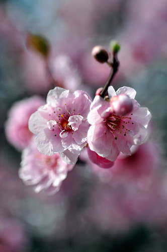 Blossom bokeh | by Eddie The Bugman