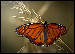 Monarca/ Monarch  Butterfly Back lighting | by Pablo A. Leiva