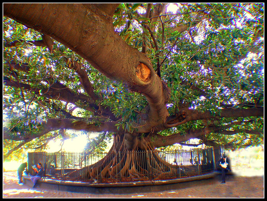 Large Ficus Tree-Buenos Aires