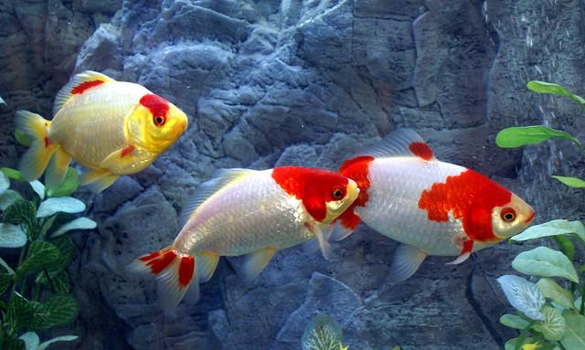 Джикин, или дзикин (порода золотой рыбки), фотография