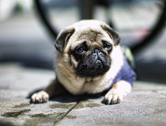 pug | by Christopher.Michel