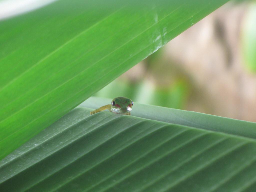 Baby Madigascan Day Gecko Peek | Madagascan Giant Day ...