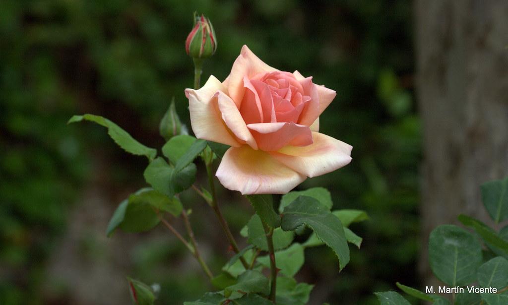 Jardines de aranjuez patos rosas y otras flores m a n - Jardines con rosas ...
