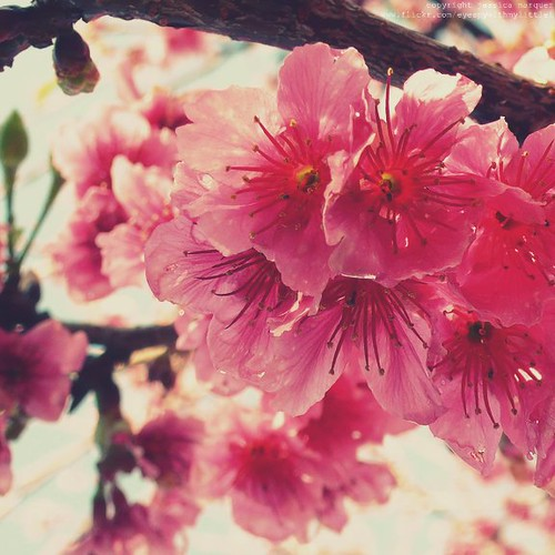 cherry blossoms | by eyespywithmylittlei