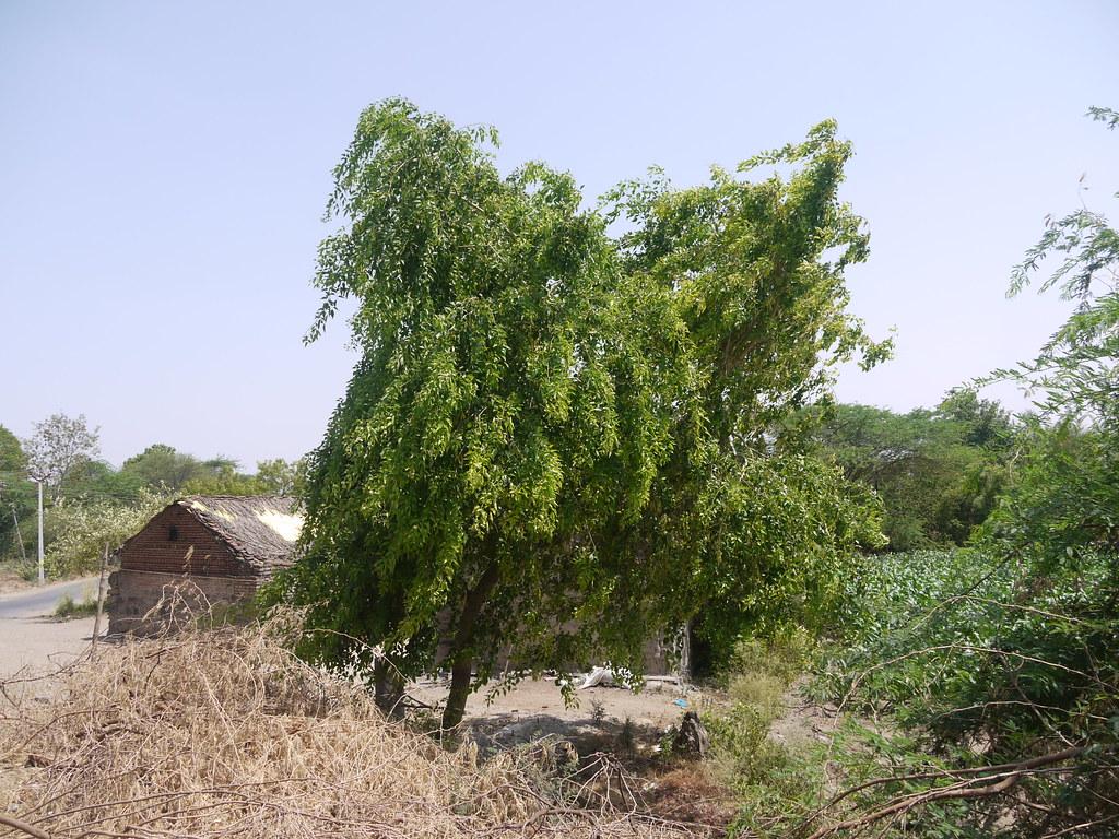 Blackwood Tree Fabaceae Pea Or Legume Family