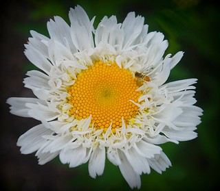 Fringed Daisy | by schlemm_a