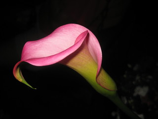 Pink Calla  (Explored) | by shoot that!