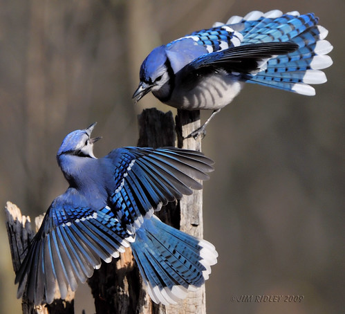 Published in National Geographic Backyard Guide to the Birds of North America | by JRIDLEY1