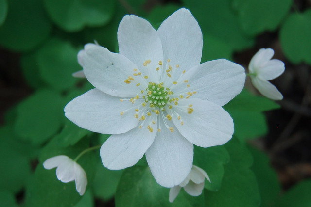 closeup of a white flower with eight petals and several smaller flowers drooping away