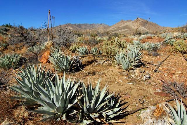 Stands Of Desert Agave Agave Deserti Anza Borrego