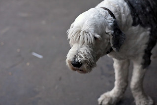 Old English Sheepdog with humble look in his face | by Horia Varlan