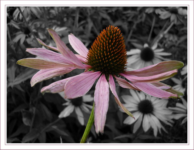 sonnenhut echinacea samsung digital camera flickr photo sharing. Black Bedroom Furniture Sets. Home Design Ideas