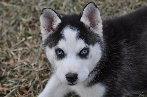 Baby Husky Can T Take My Eyes Off Of You David Gomez