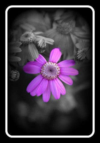 black and white of purple flower  second try of bw, this ti…  flickr, Beautiful flower