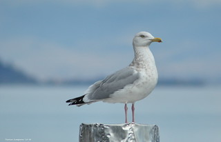 Herring Gull | by Photography Through Tania's Eyes
