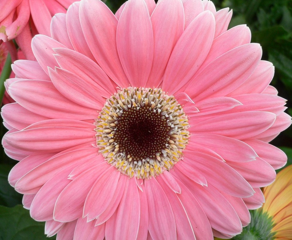 Pink Gerbera Daisy Gerbera L Is A Genus Of Ornamental P Flickr