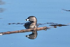 Pied- billed Grebe  (Podilymbus podiceps) | by emma lagunday
