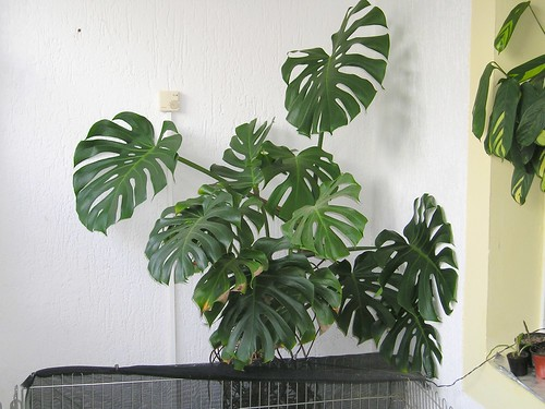 Fensterblatt (Monstera deliciosa) | by blumenbiene