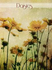 Daisies by Skeletalmess