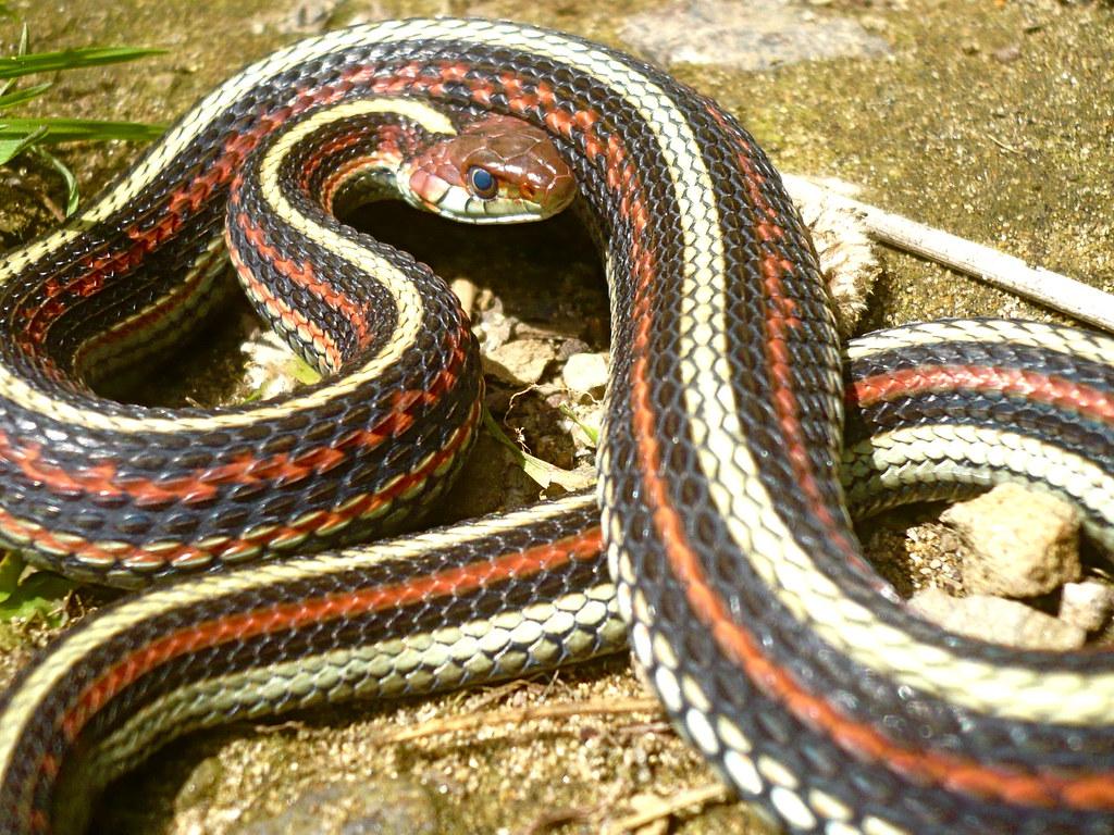 By Vabbley Whats A San Francisco Garter Snake? | By Vabbley