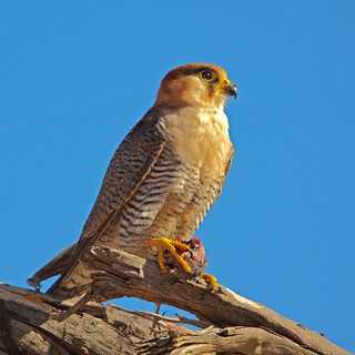 Rednecked Falcon | by Willievs