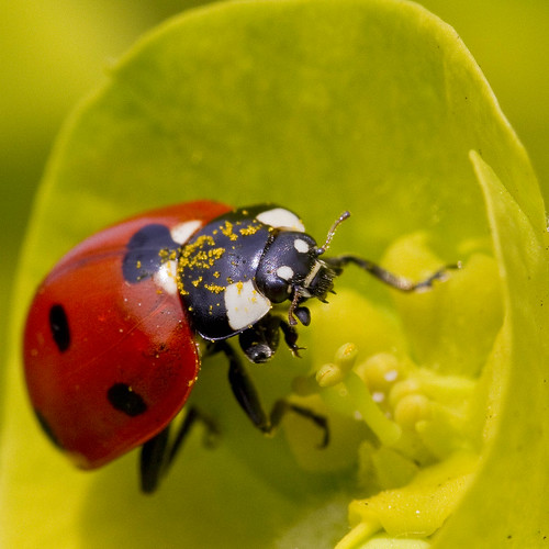 Ladybird pigging out on euphorbia pollen | by Roland Bogush