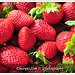 Cameron Highlands - Strawberries