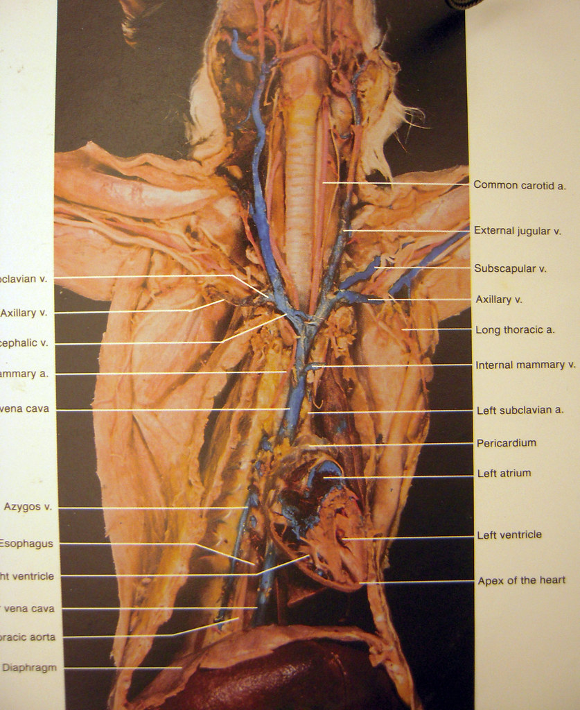 cat dissection overview of veinsarteries Tanya Rutter – Cat Dissection Worksheet