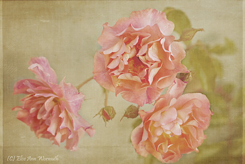 Antique Roses | by mythlady/Elise Wormuth