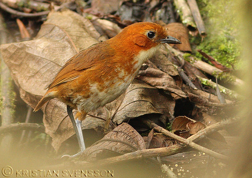 Red-and-white Antpitta (Grallaria erythroleuca) | by macronyx