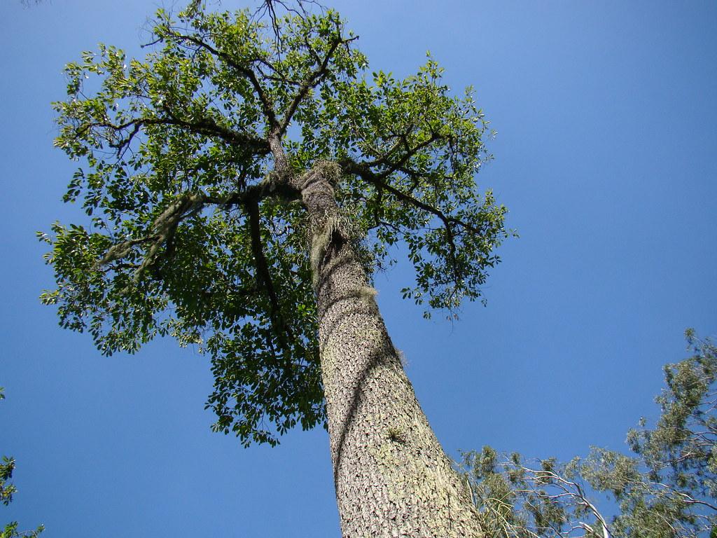 Quot Bertholetia Excelsa Quot Castanha Do Par 225 Brazil Nuts Tree